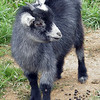 Baby Billy goat kid