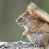 Red Squirrel in Awe!