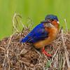 Martin-pêcheur vintsi Corythornis vintsioides - Malagasy Kingfisher