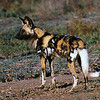 AFRICAN WILD DOG - MANA POOLS, ZIMBABWE