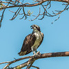 Osprey with Mullet lunch.