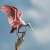 Roseate Spoonbill not just a pretty face.