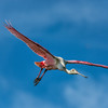 Roseate Spoonbill fly-by