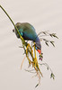 Purple Gallinule Eating Fireflag Blossom