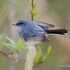 Blue-GrayGnatcatcher_15May14-154