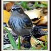 Front View of the Female Yellow Rumped Warbler