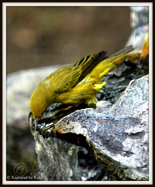 Male Yellow Warbler Drinking From Fountain