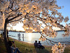 Tidal Basin cherry trees at peak bloom at sunset