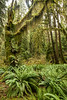 A rainforest scene. Taken in the Hoh Rain Forest, Olympic National Park, Washington, USA.