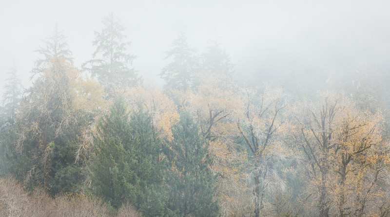 A foggy fall in the mixed deciduous/pine forest. Taken in the Hoh Rain Forest, Olympic National Park, Washington, USA.
