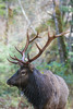 A Roosevelt elk (Cervus elaphus roosevelti) bull. Taken in the Hoh Rain Forest, Olympic National Park, Washington, USA.