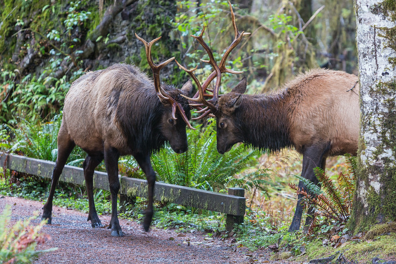 Roosevelt elk (Cervus elaphus roosevelti) bulls, sparring during the mating season. Taken in the Hoh Rain Forest, Olympic National Park, Washington, USA.