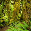 "The Hoh Rain Forest in Olympic National Park. The temperate forest receives around 12 feet of rain a year which allows prolific growth from douglar firs, cedars, bigleaf maples and dozens of species of moses and lichens to grow and flourish into an emerald forest.<br /> <br /> Photo by Kyle Spradley | © Kyle Spradley Photography |  <a href=""http://www.kspradleyphoto.com"">http://www.kspradleyphoto.com</a>"
