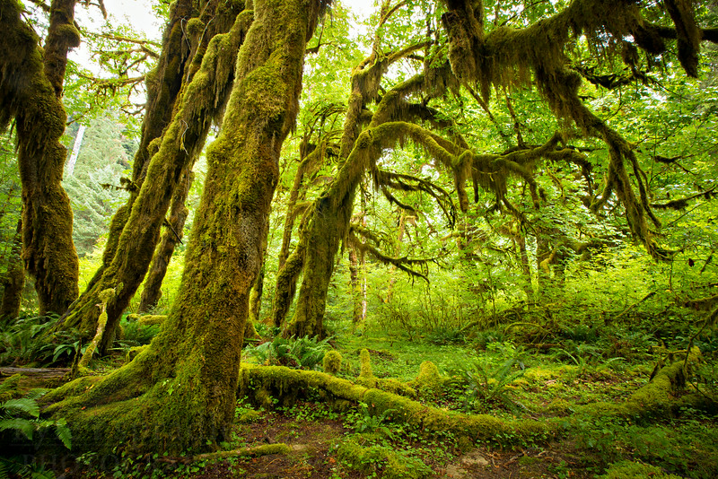 """The Hoh Rain Forest in Olympic National Park. The temperate forest receives around 12 feet of rain a year which allows prolific growth from douglar firs, cedars, bigleaf maples and dozens of species of moses and lichens to grow and flourish into an emerald forest.<br /> <br /> Photo by Kyle Spradley   © Kyle Spradley Photography    <a href=""""http://www.kspradleyphoto.com"""">http://www.kspradleyphoto.com</a>"""