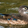 Female Wood Duck at Santee Lakes