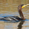 Right profile of the cormorant