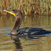Swimming cormorant