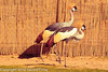 African Crowned Cranes taken Feb. 20, 2012 in Tucson, AZ.