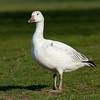 Just a snow goose