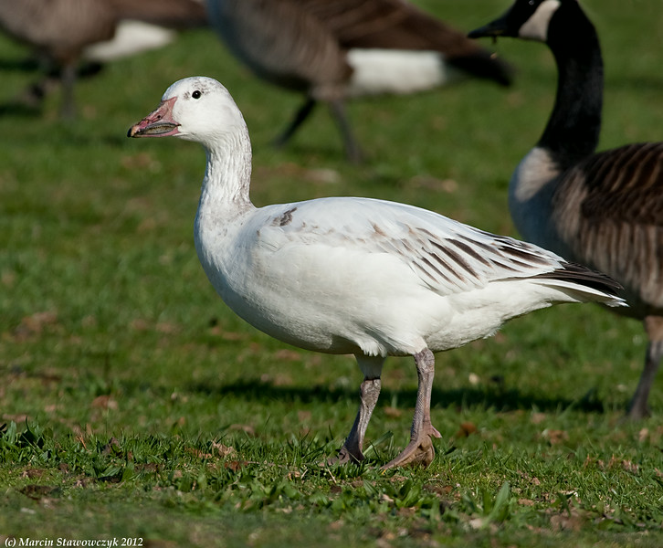 Feeding snow goose