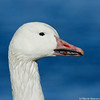 Closeup of a snow goose on a blue background
