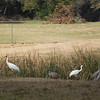 Rockport-Fulton - Whooping Cranes keeping company with some Sandhill Cranes. 22 Feb 2014