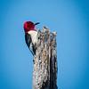 Gulf State Park: Hugh S. Branyon Backcountry Trail walk - red-headed woodpecker  on the Rosemary Dunes trail.<br /> Orange Beach, AL - 5 May 2013