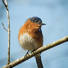Isaac Creek COE Campground - Site 39; Eastern Bluebird. Franklin, AL - 14 Mar 2013