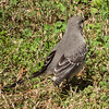 Maxwell AFB -Mockingbird near the commissary<br /> Montgomery, AL - 26 Feb 2013