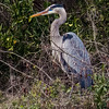 Maxwell AFB  FamCamp - great blue hero in breeding plumage (note the blue lores).<br /> Montgomery, AL - 1 Mar 2013