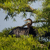 Eastbank COE Campground: anhinga in the bald cypress tree.<br /> Bainbridge, GA - 21 May 2013