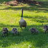 Eastbank COE Campground: welcoming committee of Canada Geese. Bainbridge, GA - 20 May 2013