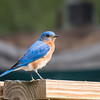 Eastbank COE Campground: Eastern bluebird. Bainbridge, GA - 29 May 2013