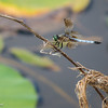 Eastbank COE Campground: blue dasher. Bainbridge, GA - 1 Jun  2013