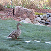 Female Mallard in backyard with most of the snow melted.