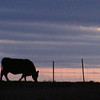 Neighbors Cow making a Silhouette at sundown, after a dark, evil sunny day.