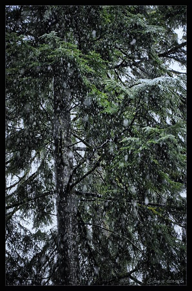 Christmas Snow on the Fir Trees