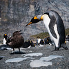 Stand-off: King Penguins vs Brown (Antarctic) Skua