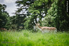 A close up shot of a deer roaming freely at Charlecote Park. A perfect backdrop for Engagement Photography