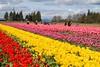 Tulip Festival-1854