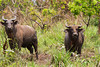 African forest buffalo (Syncerus caffer nanus) is the smallest subspecies of the African buffalo. Savannah area near Wilderness Lango camp, Odzala-Kokoua National Park, Mboko concession, Department of Cuvette-Quest, Republic of Congo.