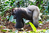 Dominant Silverback Neptuno, a Western Lowland Gorilla ( Gorilla gorilla gorilla ) of the Neptuno Group in the jungle Marantaceae forests of the Republic of Congo , Ndzehi Concession Department of Cuvette-Quest.