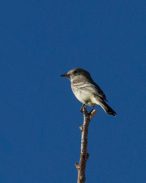 Gray Flycatcher, Whitewater Draw