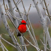 Vermillion Flycatcher, male, Nogales