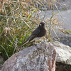 Black Phoebe, Sweetwater Wetlands