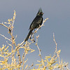 Phainopepla, male, Sabino Canyon
