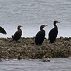 "Cormorants in a row, a help in distinguishing the smaller Neotropic Cormorant from the four Double-crested Cormorants. Note the the ""double crest"" on the right-most bird. Aransas National Wildlife Refuge"