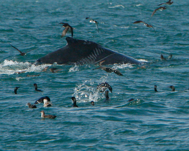 This young humpback has been hit by a propeller.