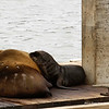 Sea Lion Pup, Moss Landing Harbor, Pacific Ocean, Monterey Bay National Marine Sanctuary