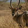 Water Buck, Sabi Sands ,South Africa